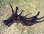 Gia Croom fainting goat hattiesburg